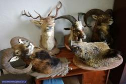 Łupem padły nawet poroża jelenia