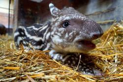 """Nowy mieszkaniec Zoo Wrocław - urodził się """"nosorożec południowoamerykański"""""""