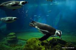 Marsz Pingwinów wewrocławskim zoo