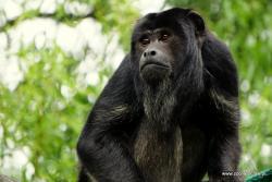 Narodziny najgłośniejszej małpy Nowego Świata