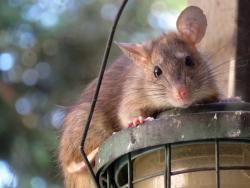 Szczury - gryzący problem Wrocławia